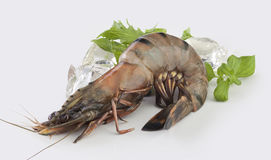 Tiger shrimp Royalty Free Stock Photo