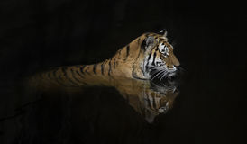 Tiger. Siberian amur tiger lying down in the water, and makes a nice reflection Stock Images