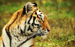 Tiger. A siberian tiger lying in the grass Stock Photo