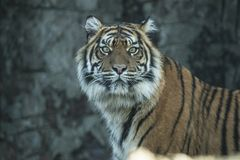 Tiger, Siberian Tiger. Panthera tigris. Panthera tigris, the Tiger is the biggest cat. A predator that hunts alone in the forest or steppen royalty free stock photography