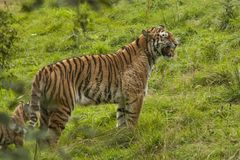 Tiger, Siberian Tiger. Panthera tigris. Panthera tigris, the Tiger is the biggest cat. A predator that hunts alone in the forest or steppen stock images