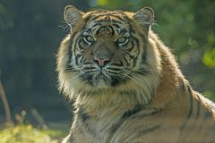 Tiger, Siberian Tiger. Panthera tigris. Panthera tigris, the Tiger is the biggest cat. A predator that hunts alone in the forest or steppen royalty free stock photos