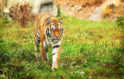 Tiger. A siberian tiger walking in the grass Stock Photos