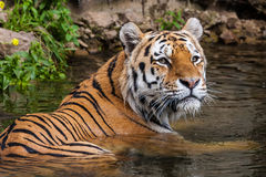 Tiger. A Siberian Tiger in water Royalty Free Stock Photography