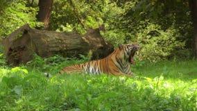 Tiger. Siberian tiger yawing stock video footage