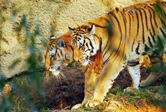 Tiger Sibling Royalty Free Stock Photography