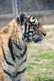 Tiger. At the side angle Royalty Free Stock Photo