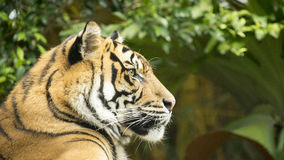 Tiger Side View Stock Photography