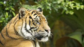 Tiger Side View Royalty Free Stock Photos