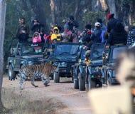 Tiger sighting at Pench Tiger reserve. Tigress colarwali spoted at Pench Tiger reserve Stock Images