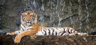 Tiger sit in deep wild royalty free stock photography