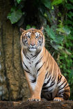 Tiger. Sit in deep wild, animal and jungle concept royalty free stock image