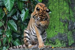 Tiger  sit down in forest. Tiger sit down in forest animal bengal white waterfall wildlife striped front mammal cat animals zoo aggression nature natural one day royalty free stock photography
