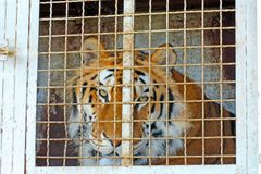 The tiger sits in a cage and sad look. Through the bars stock image