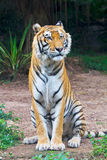 Tiger sitting. A Bengal tiger is sitting on the ground Royalty Free Stock Image