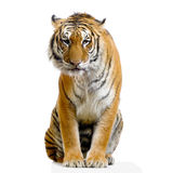 Tiger sitting. In front of a white background. All my pictures are taken in a photo studio stock photo