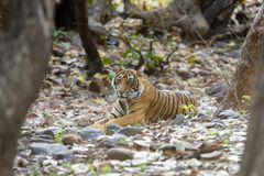 Tiger sitting in dry stream,Ranthambhore National park,Rajasthan,India. Asia stock images