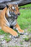Tiger sitting mouth open Royalty Free Stock Images