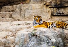 Tiger. Sitting in wildlife zoo Stock Photography