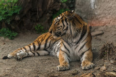 Tiger sitting in the zoo Royalty Free Stock Photo