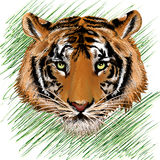 The tiger sketch Stock Photography