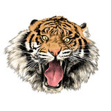 Tiger sketch vector graphics Stock Photography