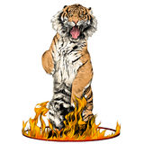 Tiger sketch vector graphics. Tiger full-length is on its hind legs in a circus ring of fire sketch vector graphics color picture Royalty Free Stock Images