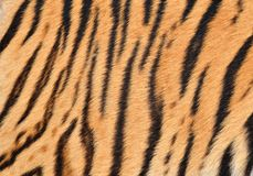Tiger skin Stock Image