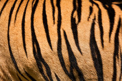 Tiger skin. Texture or background Royalty Free Stock Photo