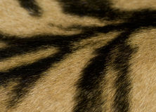 Tiger Skin Detail Royalty Free Stock Photography