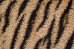 Tiger skin Stock Images