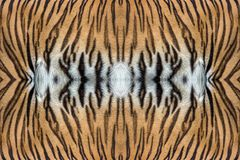 Tiger skin texture. Tiger skin texture for background royalty free stock photography