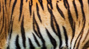 Tiger skin texture Stock Image