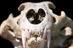 Tiger skull Stock Image