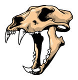 Tiger skull Stock Images