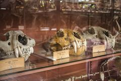 Tiger skulls in paleonthology gallery in Paris natural history museum, France Royalty Free Stock Photos