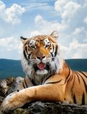 Tiger. On the sky background Stock Photos