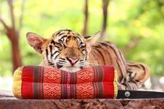 Tiger sleep Stock Image