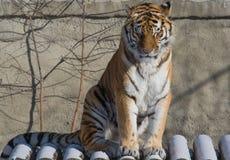 tiger sleep Stock Photography