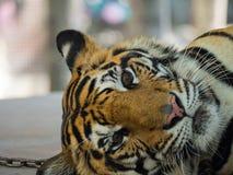 Tiger Sleep Bored imagens de stock