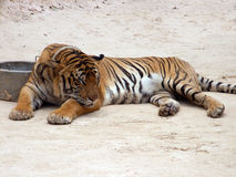 Tiger Sleeping. At the Tiger Temple in Thailand stock image
