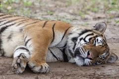 Tiger sleeping stock photo