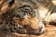 Tiger sleeping Royalty Free Stock Photo