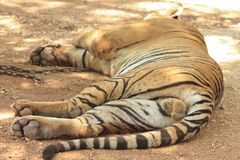 Tiger sleeping Stock Images