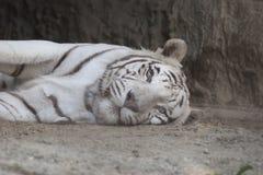 Tiger Sleeping foto de archivo