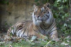 Tiger Sleeping fotos de archivo