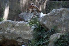 Tiger Sleeping fotografía de archivo libre de regalías
