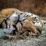 Tiger Sleeping Imagen de archivo