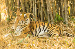 Tiger sleeping(Panthera tigris). Beautiful golden brown tiger resting in the forest of Bennerghatta,india Stock Photos