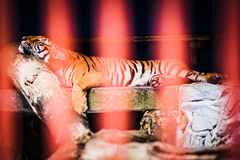 Tiger sleeping behind bars. A male tiger sleeping in cage at a zoo Royalty Free Stock Photo